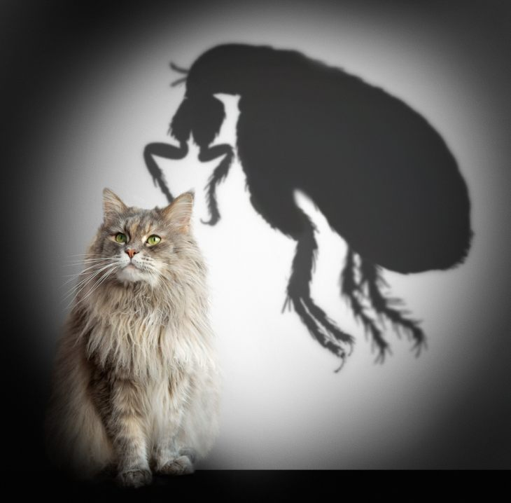 Аллергический блошиный дерматит кошек – что нужно знать