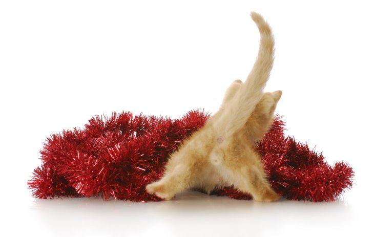 Крипторхизм кошек: причины, советы по уходу, кастрация