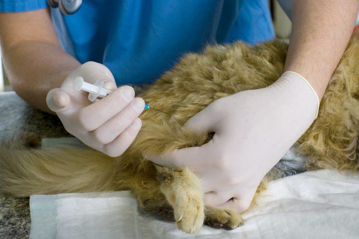 Поствакцинальная саркома у кошек: причины, лечение, профилактика
