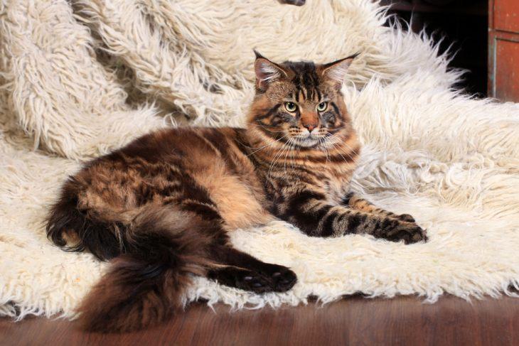 Кошка с кисточками на ушах порода