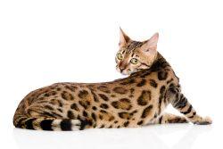 Бенгальская кошка: фото