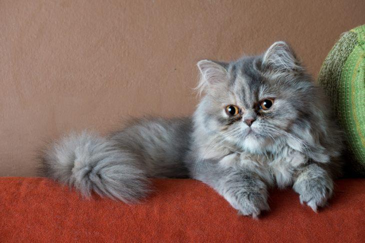 персидские коты характер