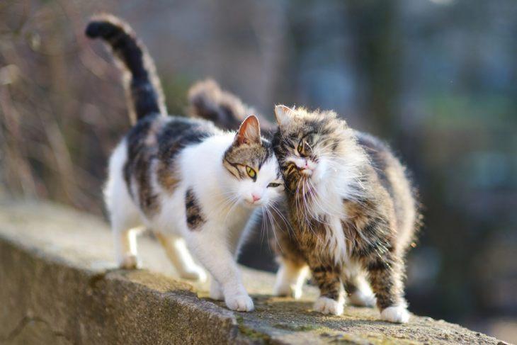 Случка котов – что нужно знать владельцу