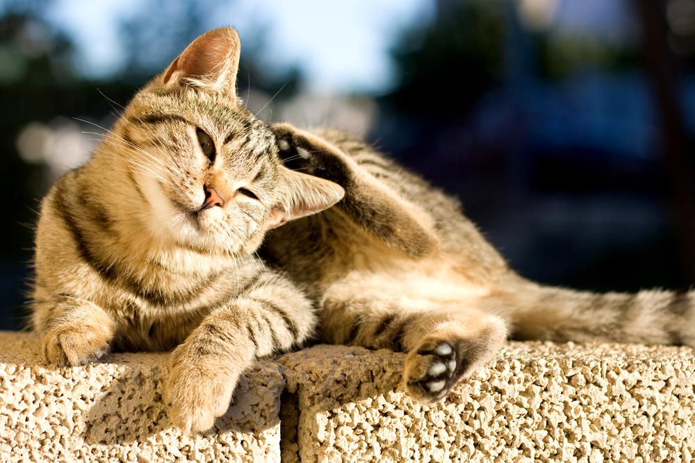 Нотоэдроз у кошек: симптомы, лечение и профилактика