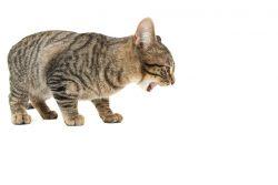 Что делать, если кошку рвет?