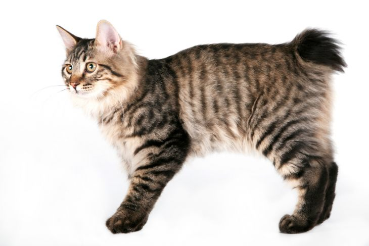 Кошка без хвоста - порода Мэнкс, мэнская кошка - фото и характер бесхвостой кошки.