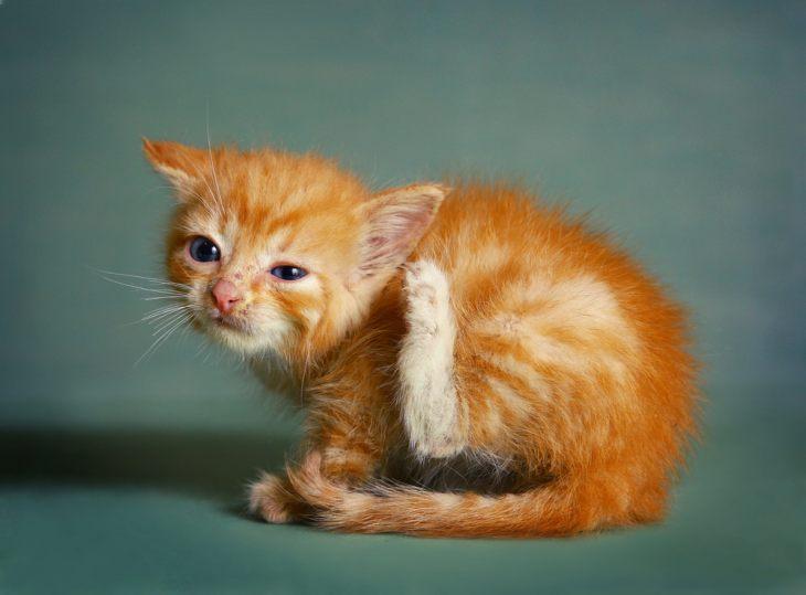 Как лечить аллергию на котенка