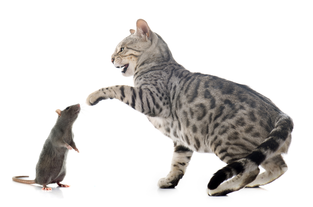 Какие по характеру коты крысоловы Как отличить кота-крысолова