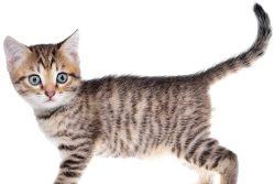 Как вывести глистов у котенка