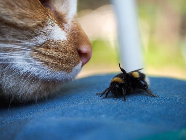 Кошку укусила оса/пчела - что делать?