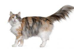 Суровый северный викинг — норвежская лесная кошка