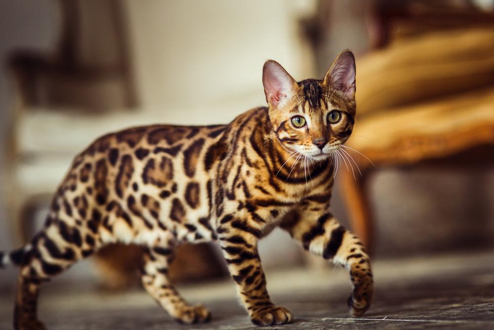 бенгальские кошки характер