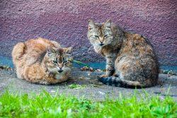 Кошачья свадьба. Вышла кошка за кота