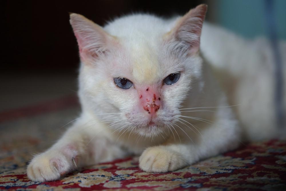 Что делать если у кота пятна на ушах