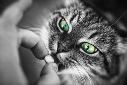 Как дать кошке лекарство или таблетку