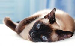 Сиамские кошки: фото