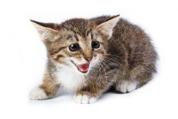 Почему мяукают кошки?