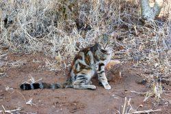 Соукок – лесная кошка из Кении