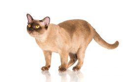 Бурма – кошка из Священного Сиама