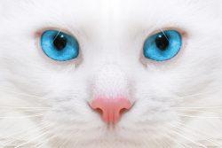 Белые кошки с голубыми глазами
