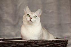 Бурмилла: порода кошек
