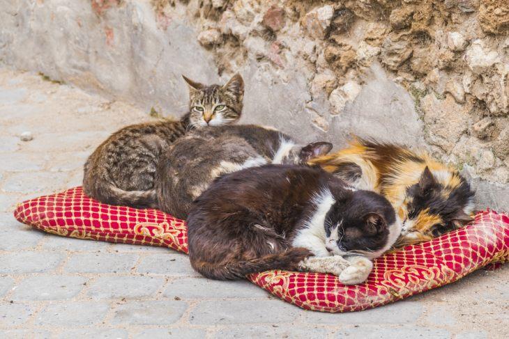 коронавирус у кошек симптомы и лечение кот обормот