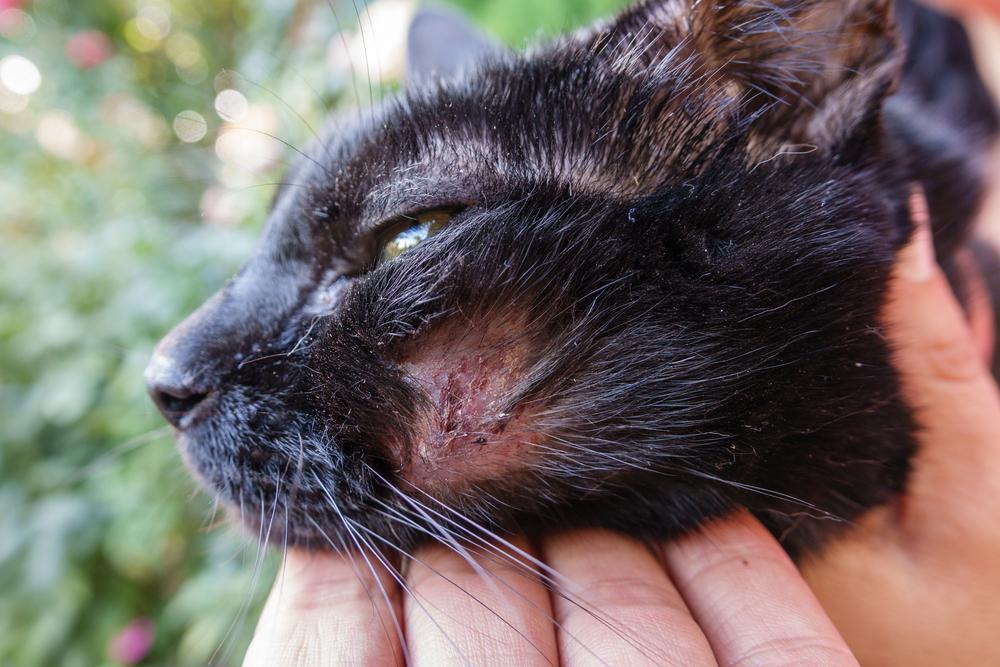 Акне у кошки: причины и лечение — Кот Обормот || У кошки прыщ на ухе