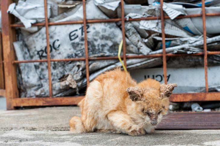Онкология у кошки: симптомы и лечение, опасно ли для людей?