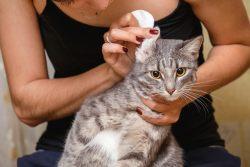 Правильная чистка ушей у кошки