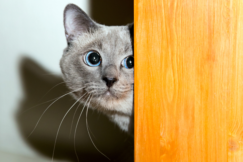 Стресс у кошек: симптомы и лечение