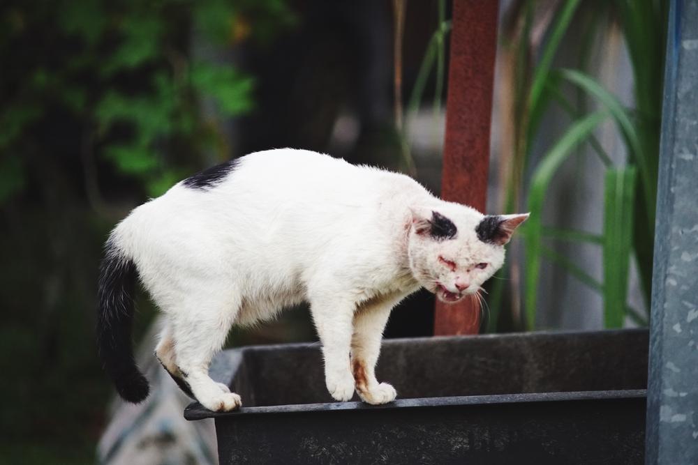 Как распознать лишай у кошки