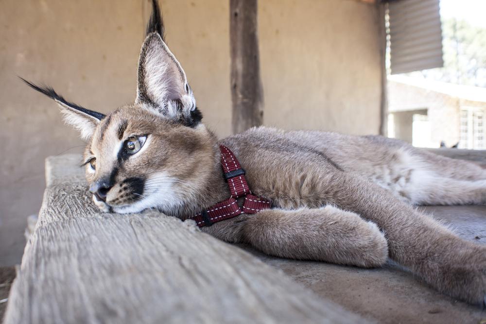 Большие коты похожие на рысь фото