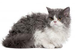 Селкирк рекс — кошка в овечьей шкуре