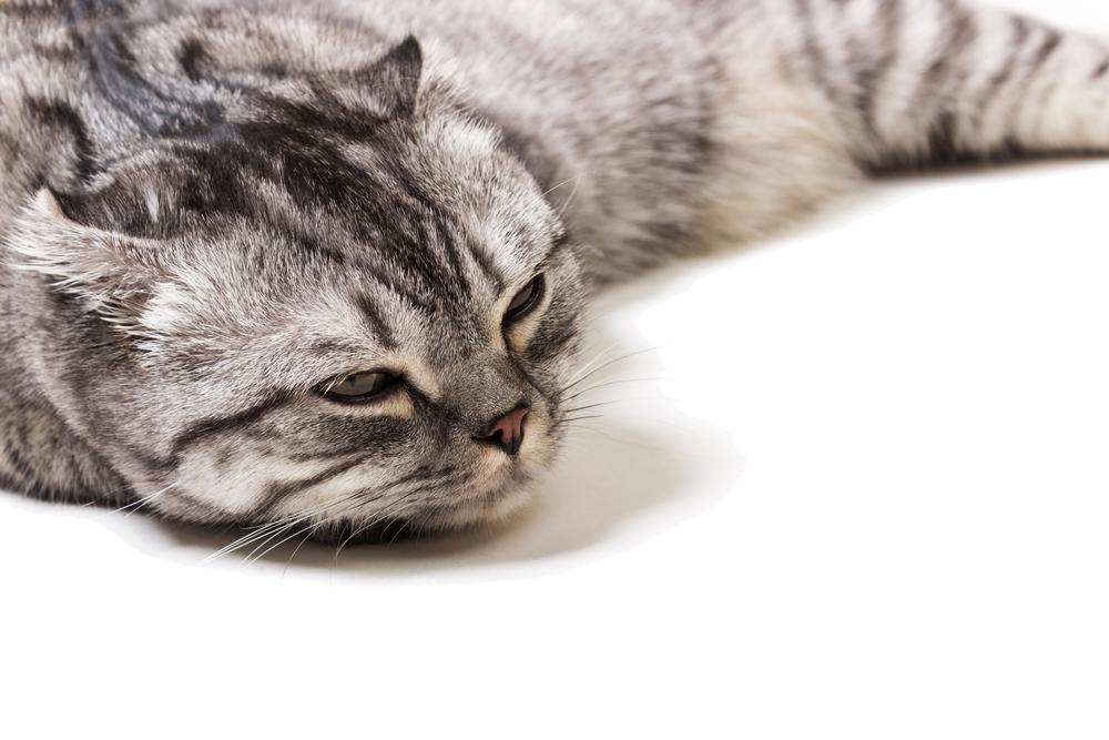 Как лечить у кошки опухоль на молочной железе