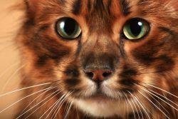 Тойгер — кошка, похожая на тигра
