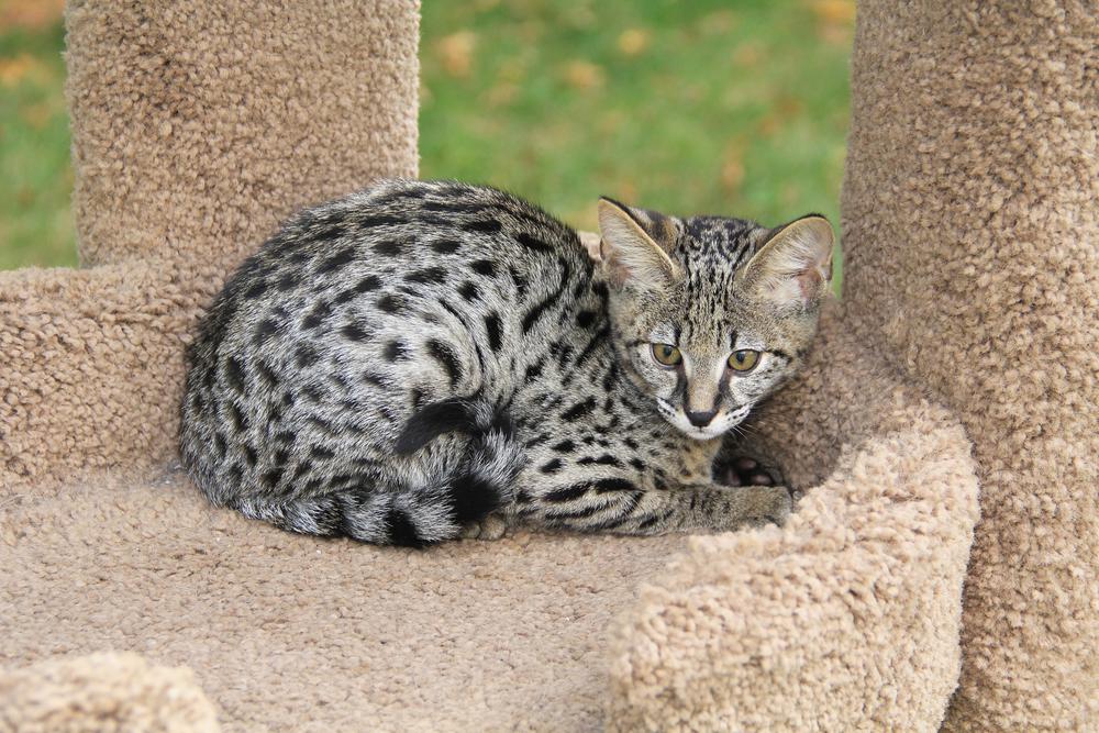 Как развиваются котята кошки саванны