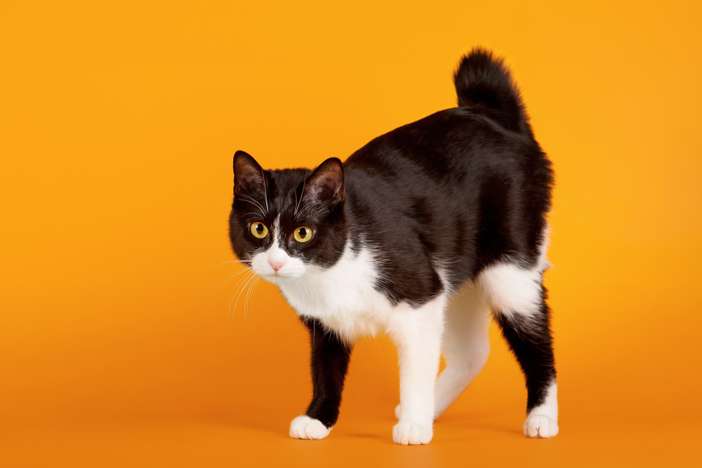японская короткохвостая кошка