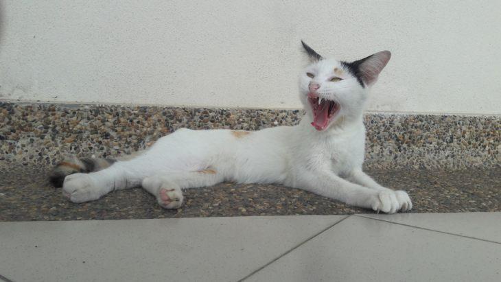 Отек легких у кошек лечение ⋆ Лечение Сердца