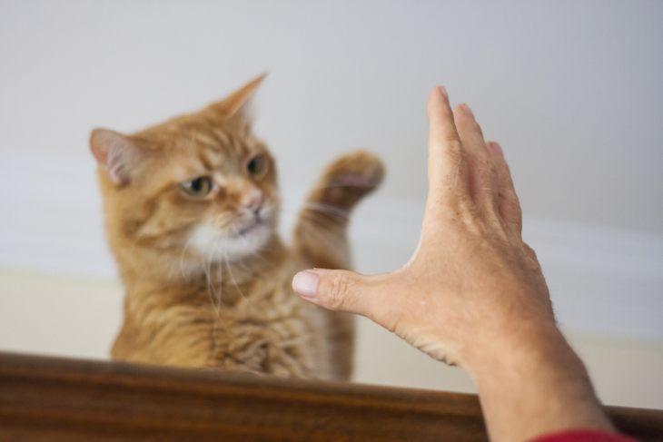 Дерматофития у кошек: признаки и лечение. Меры предосторожности