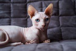 Бамбино – кошка или такса?