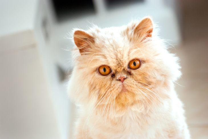 Изменение окраса у кошки: причины и коррекция