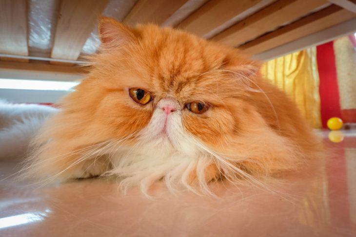 Волчанка у кошек: симптомы, диагностика, лечение