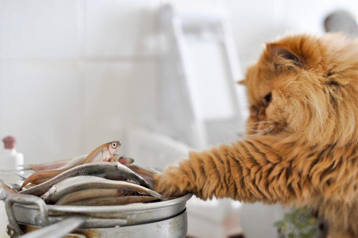 Обзор сухого корма для кошек Orijen — новые формулы