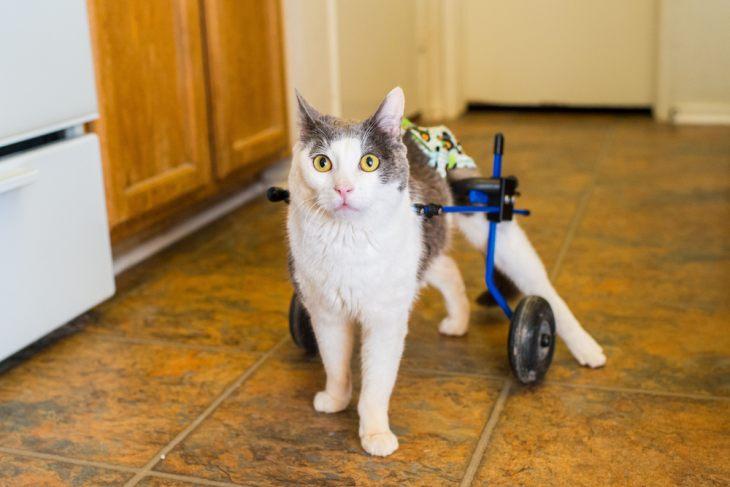 Кошка-спинальник: как ухаживать за частично парализованным животным