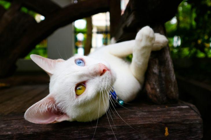 Порода кошек као-мани — бриллиант Таиланда