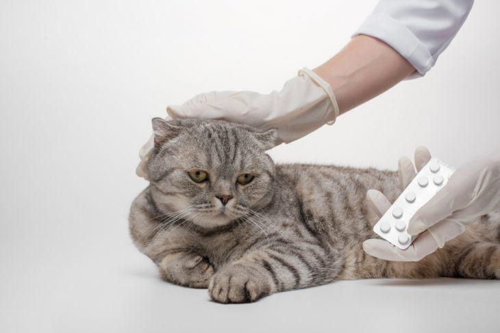 Остеохондродисплазия шотландских кошек: симптомы, лечение, прогнозы