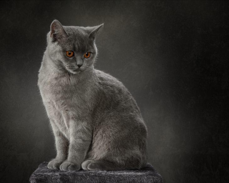 Самые большие коты и кошки — фото кошек крупных пород