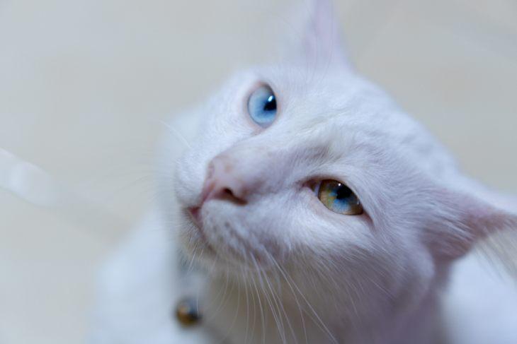 Кошки с разноцветными глазами — дивитесь же совершенству