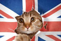 Кошки Туманного Альбиона — английские породы кошек