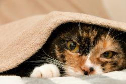 Третье веко у кошки — почему оно появляется?